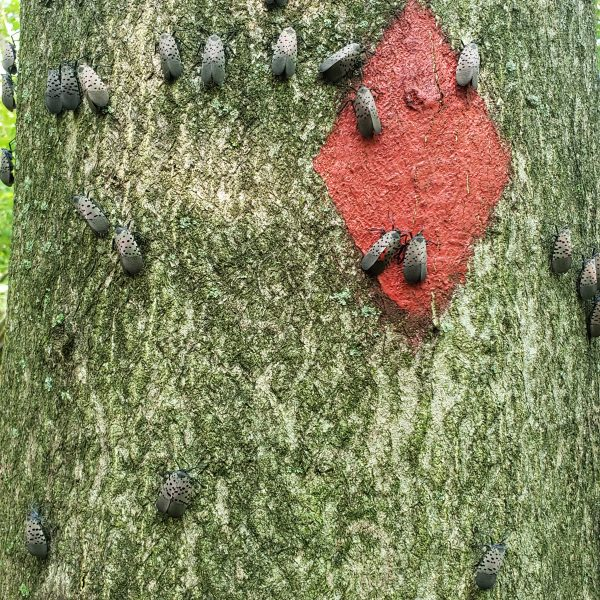Spotted Lanternflies on tree in Berks County, PA Highlands