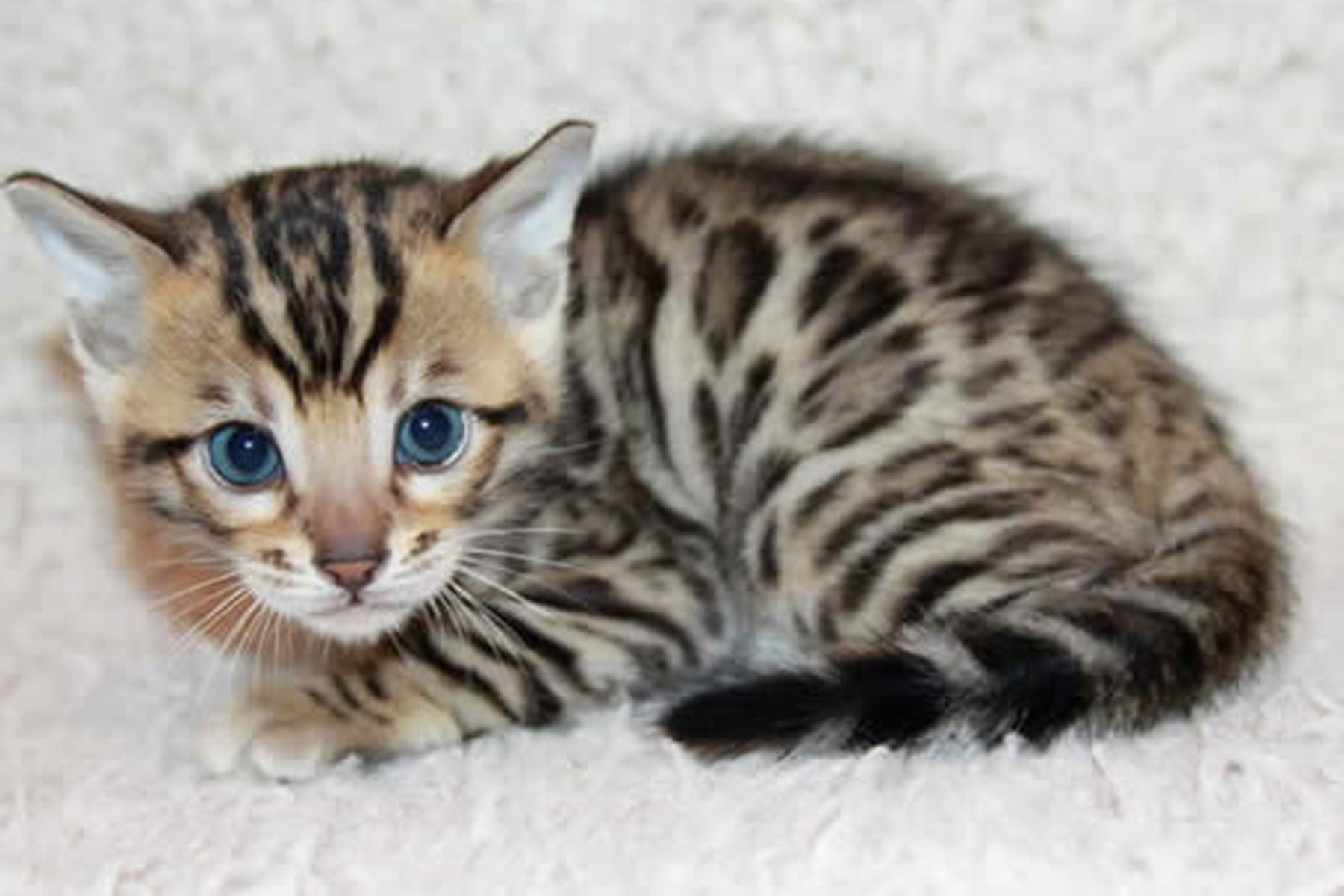 All The Bengals