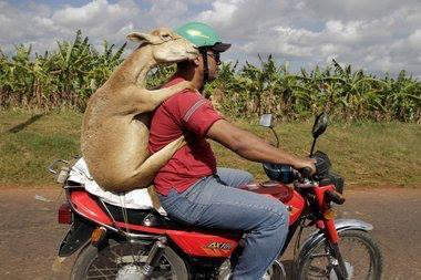 Goat on a motorbike