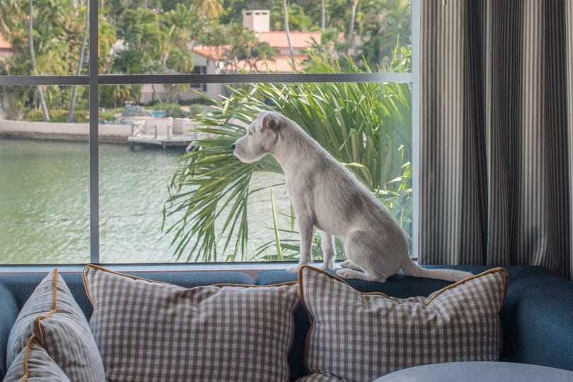 miami-dog-looking-out-window