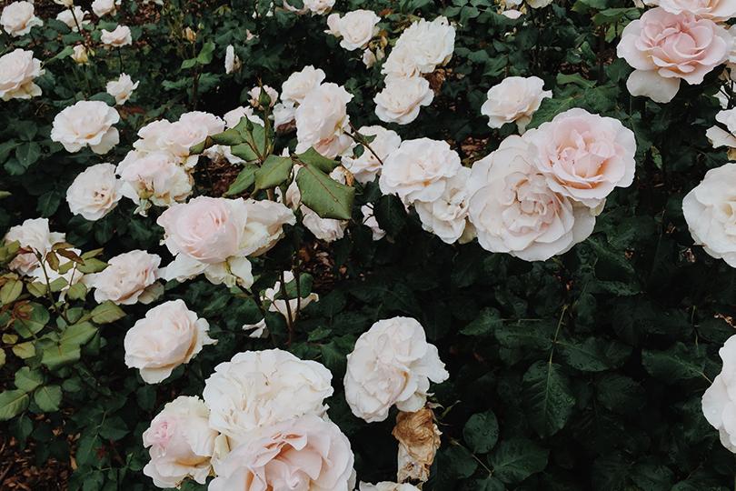 rose bushes in bloom