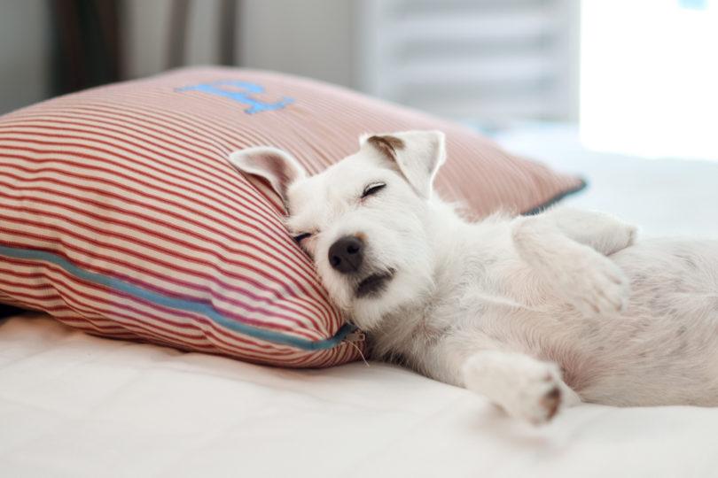 pup sleeping on pillow