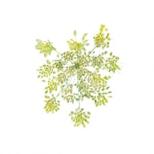 Cow_Parsley_MR