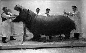 The American Hippopotamus….Eikev 5777