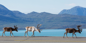 Arctic Norway lends itself to some ethereal sights, like these reindeer. Norwegian tundra is the only place in Europe where wild reindeer can be found.
