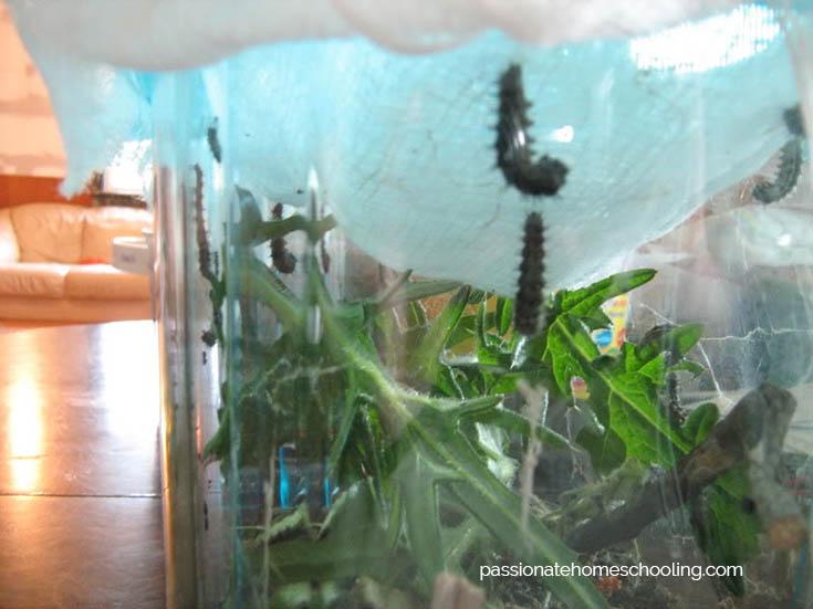 how to make a chrysalis