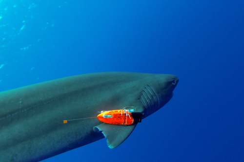 Shark sensor gives new meaning to 'fintech'