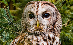 Dampening vole cycles: why we should give a hoot