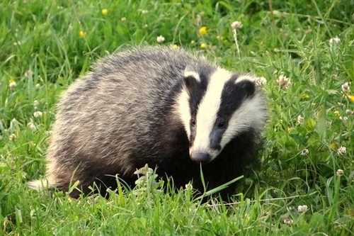 Badger cull madness