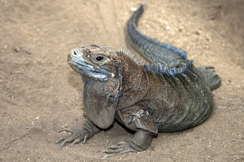 Jamaican Iguana is still critically endangered