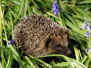 Hedgehogs are out and about earlier this spring