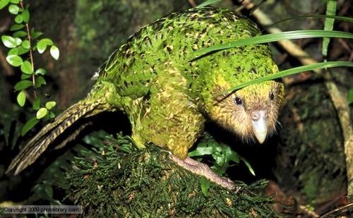 Endangered Kakapo has high genetic distinctness