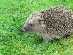 Blame humans for the hedgehog decline- not badgers