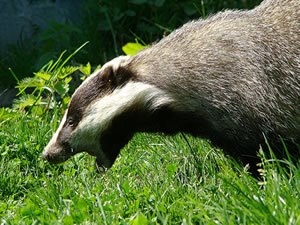 Badger cull will no longer be independently monitored