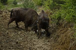 Bison reintroduced to Romania