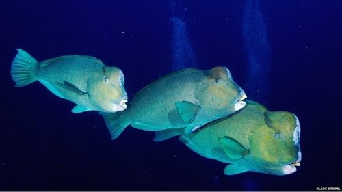 Bumphead fish highlight the need for whole ecosystem management