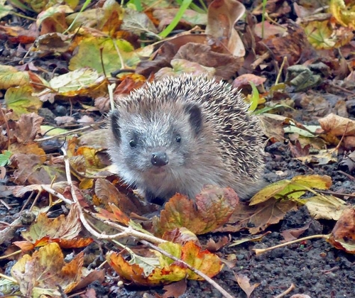 Why our hedgehogs should be helped