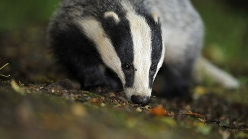 Badger cull targets missed for the second year