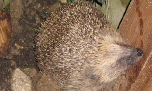 Hedgehogs emerging: spring is here