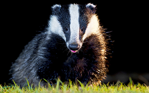Demonising badgers in the press