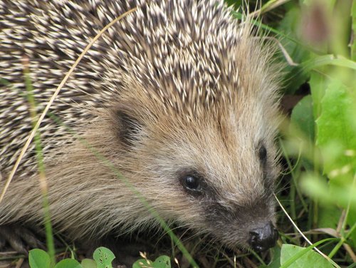 Hedgehog awareness week 2015