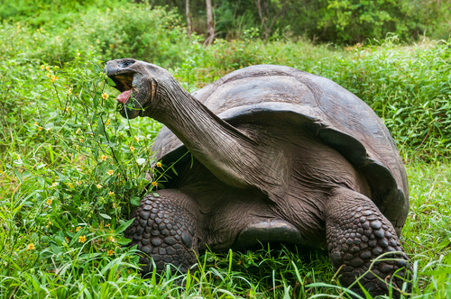 Giant tortoises feast on invasive plants