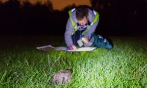 Hedgehog numbers dwindling in central London