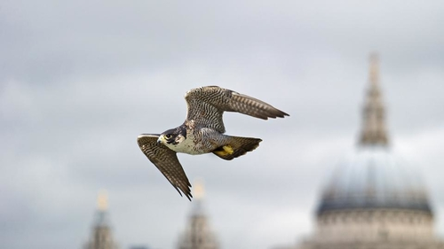 Peregrines doing well in cities