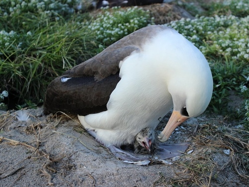 63 year old bird hatches a chick