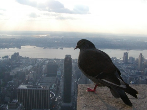 Natural selection favours darker pigeons in cities