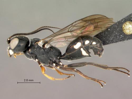 Incredible life cycle of parasitic wasp