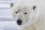 Opportunistic feeding may save the polar bears