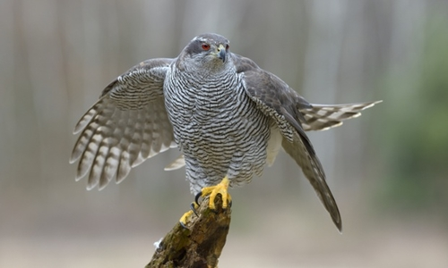 First person convicted for trapping and killing bird of prey