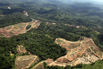 The versatility of oil palm- the peril of tropical forests