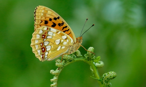 Endangered butterfly back in large numbers after warm spring