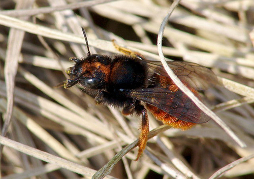 Resourceful bees make use of an abundant resource