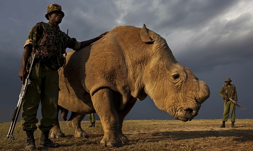 Picture of loneliness: the last male northern white rhino