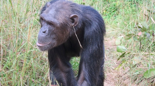 Chimpanzees discover fashion, wear earrings made of grass