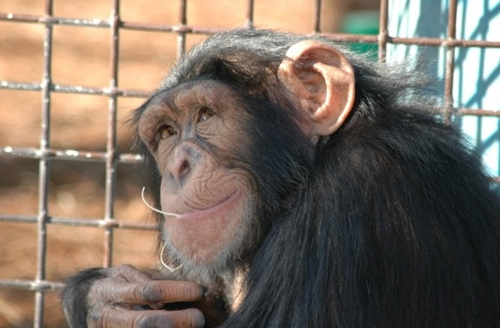 Chimps have musical preferences: they like Indian Classical