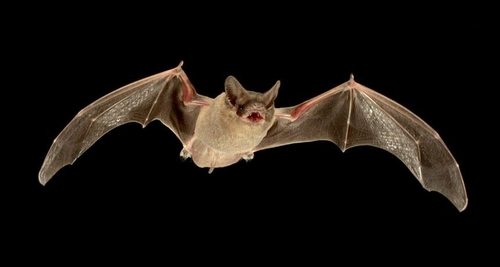Bats jam each other's sonar to compete for food
