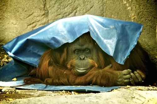 Orangutan granted basic human rights, deemed a