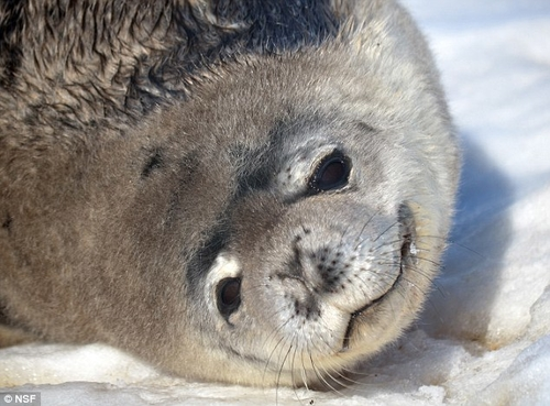 Do seals use Earth's magnetic field to find breathing holes?
