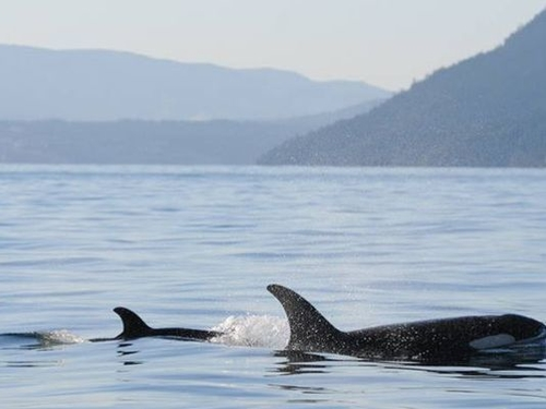 Do orcas act as midwives? It seems likely, say experts