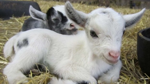 Goats pick up their friends' accents, just like us.