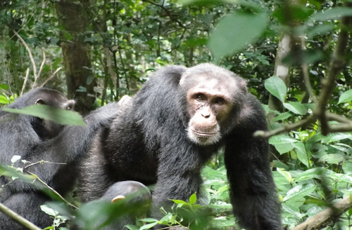 Chimps chat about their favorite fruits (and describe trees where they can be found)