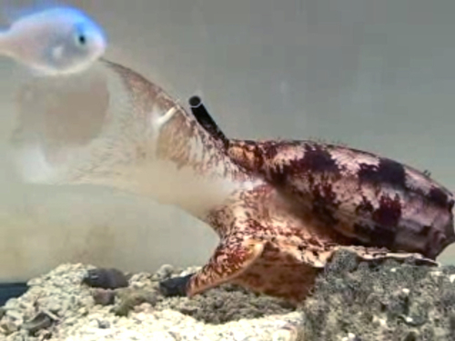 Cone snails poison prey with weaponized insulin: creepy, but rich with medical applications