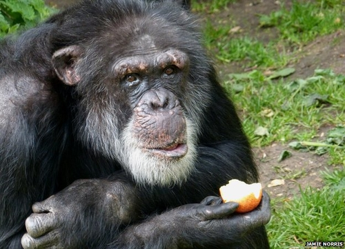 Relocated chimps learn local dialect-- in this case, Scottish brogue