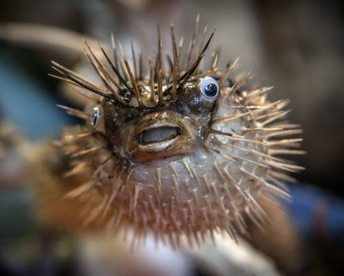 Pufferfish moms shower babies with