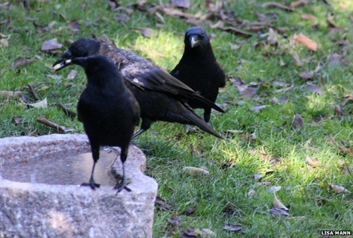 Girl feeds crows; crows bring thank-you gifts in return