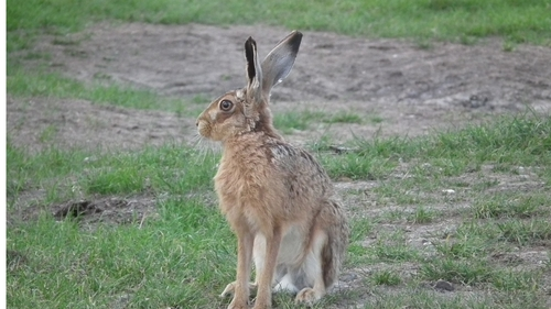 Send in your photos of the Easter Bunny! (Crowd-sourced population mapping of rabbits and hares)